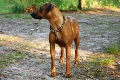 Hundehalsband-Leder-Mix-mit-5-Ohr-Tunnel-im-Leo-Look-CHUMBA-2