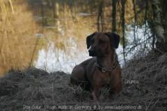 Hundehalsband-Leder-Mix-mit-5-Ohr-Tunnel-im-Leo-Look-CHUMBA-3