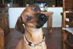 Hundehalsband-Leder-Mix-mit-5-Ohr-Tunnel-im-Leo-Look-Surayya-3