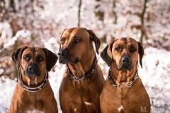 Rhodesian-Ridgeback-Hundehalsband-Mariella-3