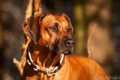 Rhodesian-Ridgeback-Hundehalsband-Mariella-4