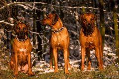 Rhodesian-Ridgeback-Hundehalsband-Mariella-5
